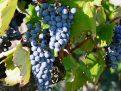 Giống Nho Negroamaro – Khởi Nguồn Của Những Chai Rượu Vang Huyền Thoại